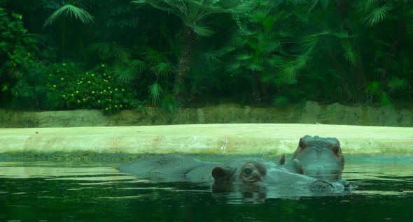 hello-hippo